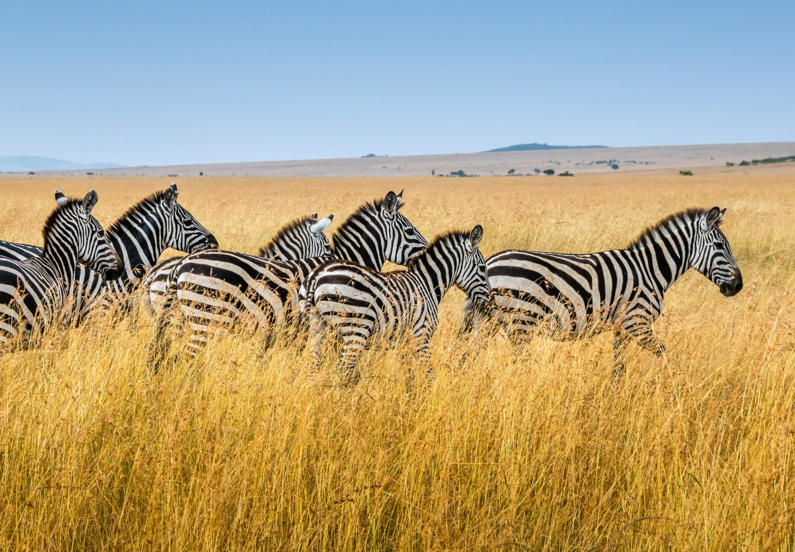 Zebra in tall grass - Kenya Destination