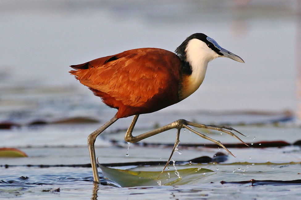 African Jacana on Chobe River, Botswana
