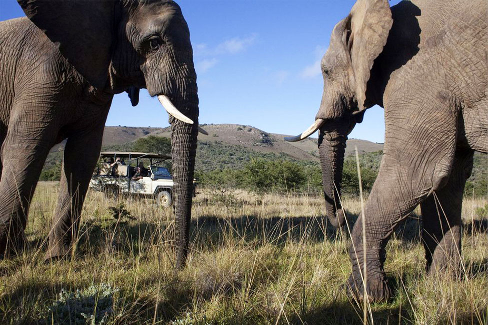Dueling elephants, South African Game Drive